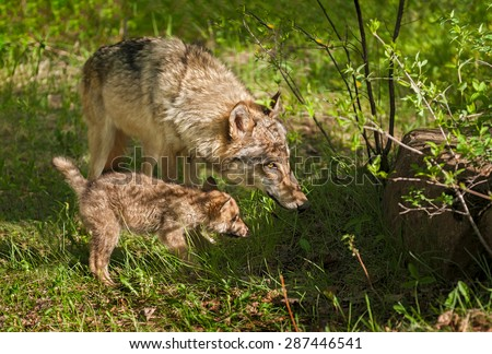 Grey Wolf (Canis lupus) Mother and Pup Peer into Shadow - captive animals - stock photo