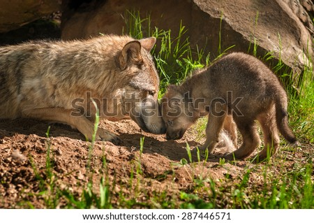 Grey Wolf (Canis lupus) Mother and Pup Touch Outside Den - captive animals - stock photo
