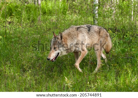 Grey Wolf (Canis lupus) Prowls Left Through Grasses - captive animal - stock photo