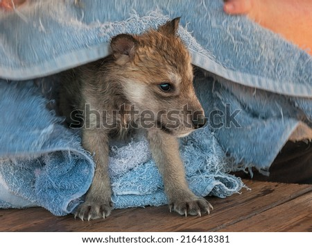 Grey wolf canis lupus pup bathtime captive animal stock photo