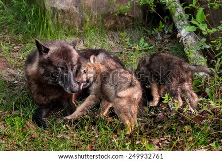 Grey Wolf (Canis lupus) Pup Licks Mother's Mouth - captive animals - stock photo