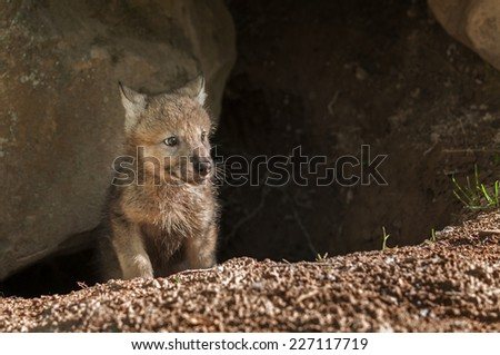 Grey Wolf (Canis lupus) Pup Pokes Head out of Den - captive animal - stock photo