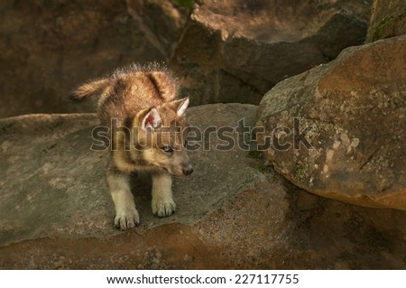 Grey Wolf (Canis lupus) Pup Ready to Pounce - captive animal - stock photo