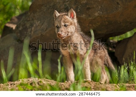 Grey Wolf (Canis lupus) Pup Stands in Front of Den - captive animal - stock photo
