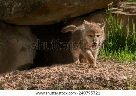 Grey Wolf (Canis lupus) Pup Trots Out of Den with Meat - captive animal - stock photo