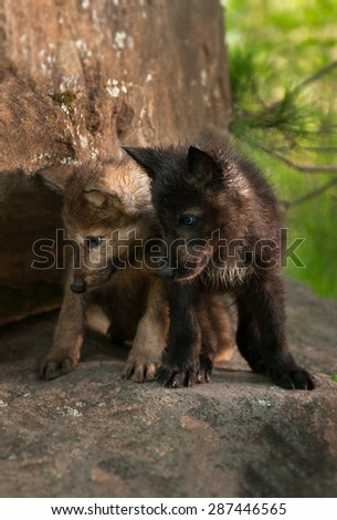 Grey Wolf (Canis lupus) Pups Look Down off Rock - black and brown - captive animals - stock photo