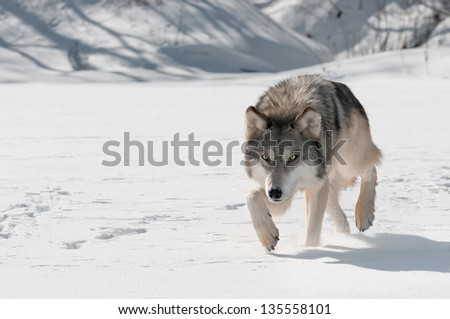 Grey Wolf (Canis lupus) Stalks Forward - captive animal - stock photo
