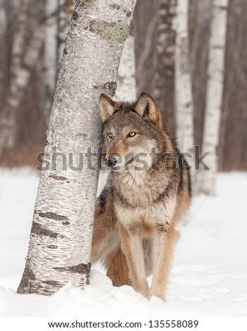 Grey Wolf (Canis lupus) Stands Next to Birch Tree - captive animal - stock photo
