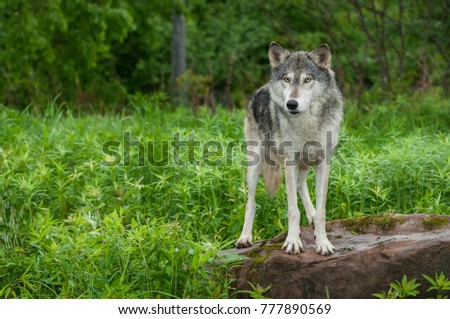Grey Wolf (Canis lupus) Stands on Rock Looking Out - captive animal