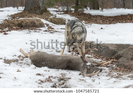 Grey Wolf (Canis lupus) Stands Over White-Tail Deer Carcass - captive animal