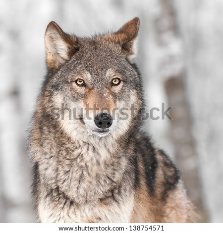 Grey Wolf (Canis lupus) with One Ear Back - captive animal - stock photo