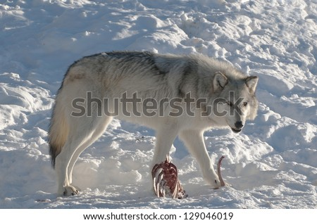 Grey wolf eating from a carcass in Yellowstone National Park