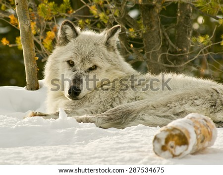 grey wolf laying on snow bank watching photographer