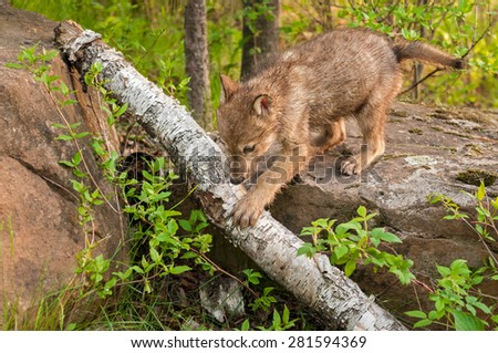Grey Wolf Pup (Canis lupus) Climbs off Rock over Log - captive animal - stock photo