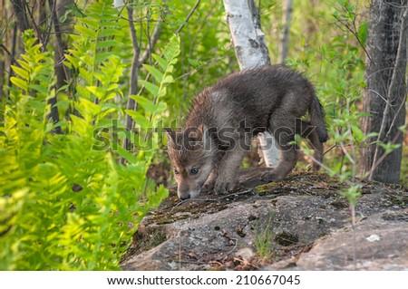 Grey Wolf Pup (Canis lupus) Sniffs Atop Rock - captive animal - stock photo