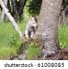 Grey wolf pup (canis lupus) stands in the crook of an aspen tree in the forest. - stock photo