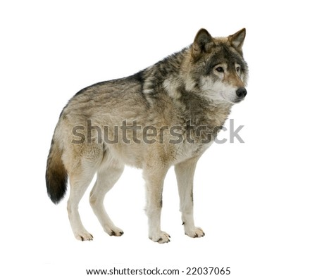 Grey wolf staring at its prey. Isolated on white. - stock photo