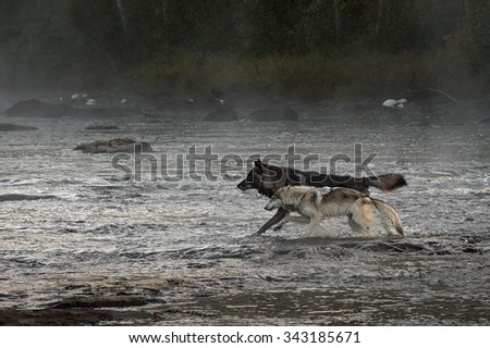 Grey Wolves (Canis lupus) Run in River - captive animals