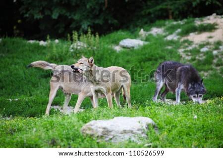 Grey wolves feeding on carcass - stock photo