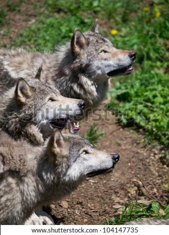 Grey wolves pack looking up for food in the woods - stock photo