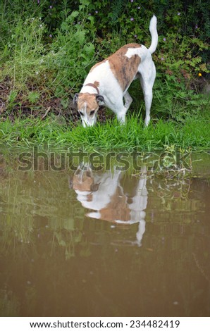 Greyhound at the waters edge casting a reflection.