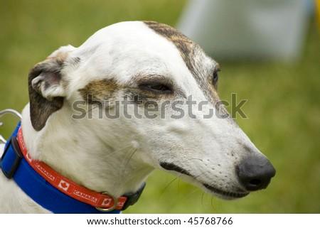 Greyhound dog - stock photo
