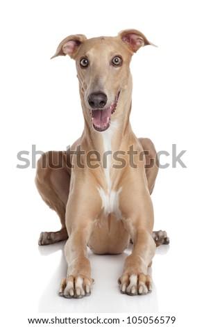 Greyhound dog lying on a white background - stock photo