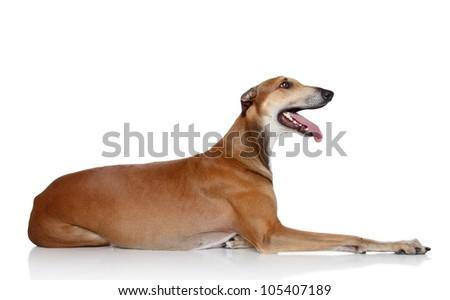 Greyhound dog lying. Side portrait on a white background - stock photo