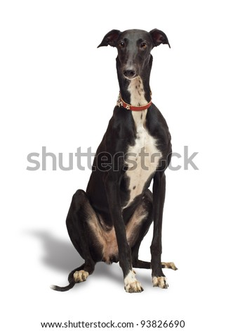 Greyhound dog, 18 months old, sitting in front of white background - stock photo