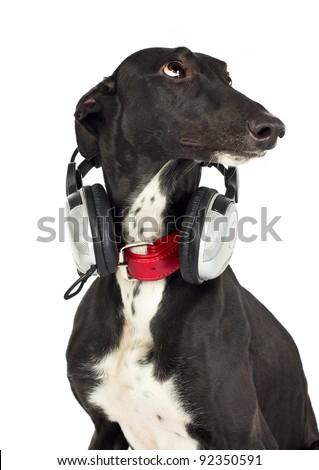 Greyhound dog with headphones on white - stock photo