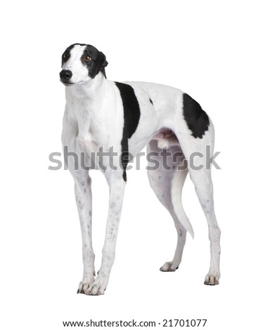 Greyhound in front of a white background