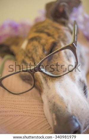 Greyhound in house - stock photo
