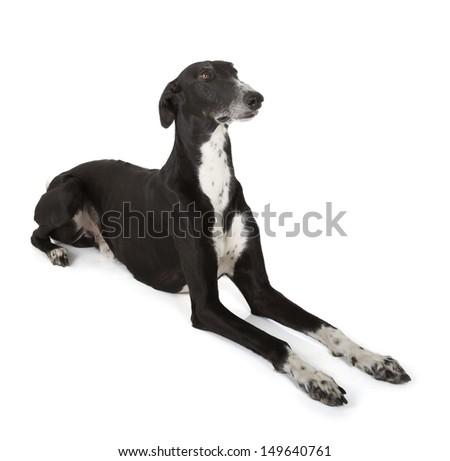 greyhound isolated on white background - stock photo