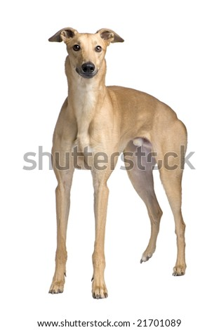 Greyhound (17 months) in front of a white background