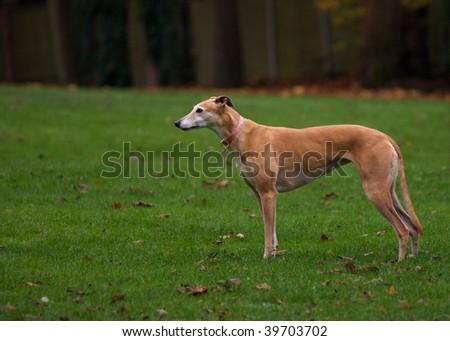 Greyhound on grass - stock photo