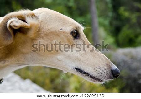 greyhound profile - stock photo