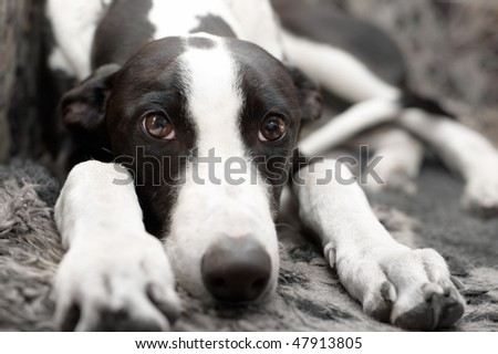Greyhound puppy with sad looking - stock photo
