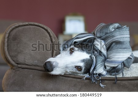 Greyhound relaxing at home - stock photo