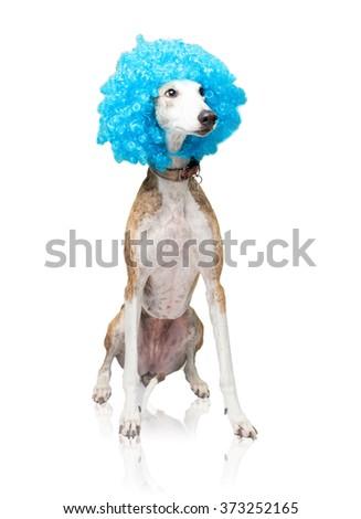 greyhound wearing a blue clown hair - stock photo