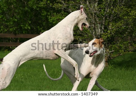 Greyhounds in action - stock photo