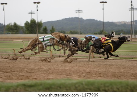 greyhounds racing - stock photo