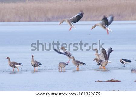 Greylag Geese (Anser anser) in winter - stock photo
