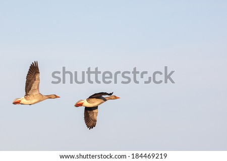 Greylag Geese flying against the sky - stock photo