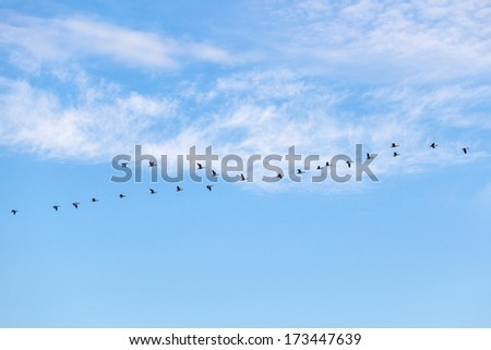 Greylag geese flying in a flock - stock photo