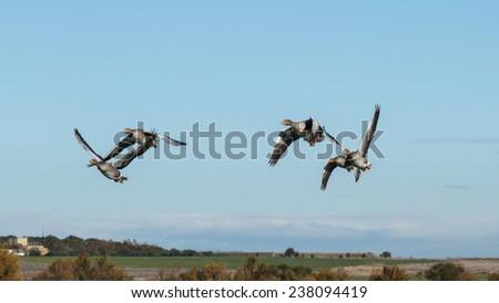 Greylag Geese in flight. Anser anser. Reserve Natural Lagoons de Villafafila, Zamora. - stock photo