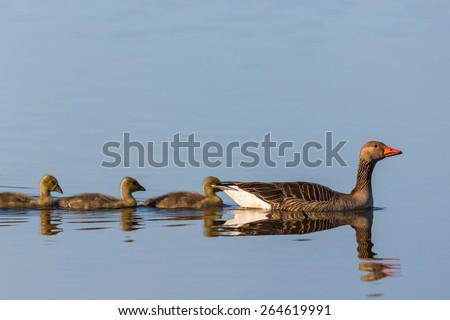 Greylag geese swimming with goslings - stock photo