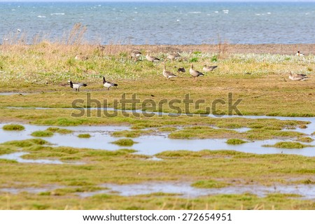 Greylag goose, Anser anser. Small group in center part of image walking in coastal wetland. Two barnacle geese to the left. Focus on greylag geese. Copy space in foreground vegetation. - stock photo