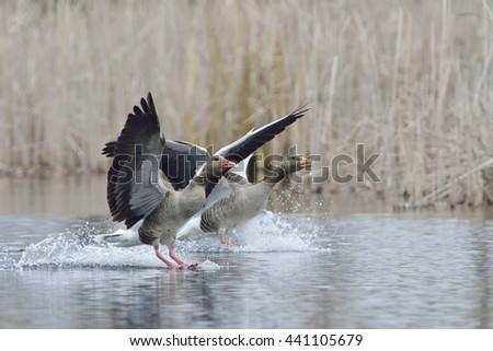 Greylag goose landing in a lake - stock photo