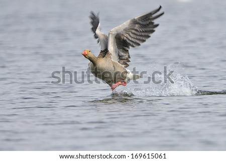 Greylag Goose on a lake. - stock photo