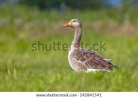 Greylag goose on green background. Numbers of greylag goose have grown to problematic numbers in recent years in the Netherlands. Pest control options are being discussed. - stock photo
